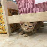 保護猫 キャラメル
