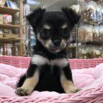 ロングコートチワワ なっちゃん 6月8日生まれ 女の子 毛色 ブラック&クリーム 宮崎県出身