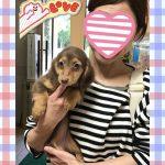ミニチュアダックスフンド 女の子 2月12日生まれ 毛色 チョコレート&タン 宮崎県出身
